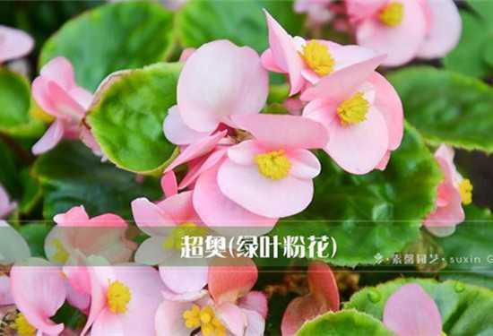 四季秋海棠花期_四季海棠,四季海棠图片,四季海棠种子_绿植之家